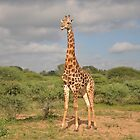 Giraffe on Safari by Rod Hawk