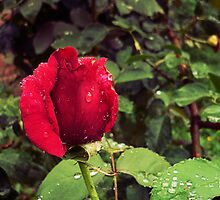 Dew Drops on Red Rose Petals by Denis Marsili