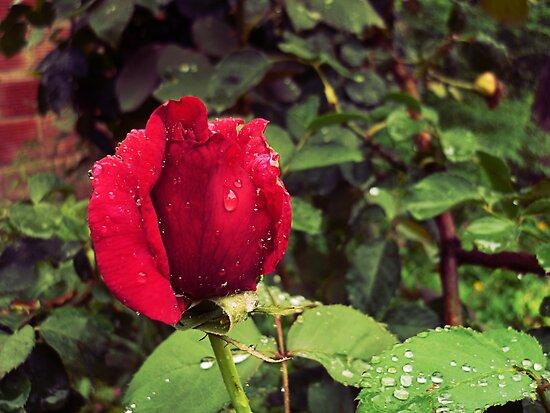 Dew Drops on Red Rose Petals by Denis Marsili - DDTK