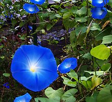 I Love My Morning Glories by MaryinMaine