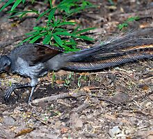 Lyrebird by Stephen Balson