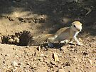 Round-tailed Ground Squirrel ~ Baby by Kimberly Chadwick