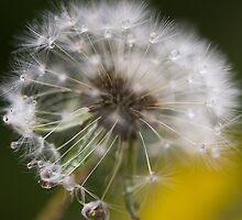 Dandelion  by Pauline Tims