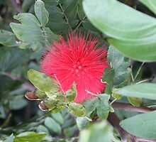Lone Calliandra Californica aka Baja Fairy Duster by jdbussone