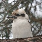 Kookaburra sits in the old gumtree by footprints