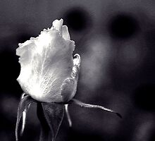 White Rose - Infrared Effect by Igor Shrayer
