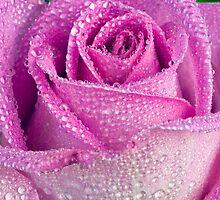 Dew-kissed rose by friendlydragon