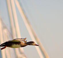 Mallard Hen Prepares for Landing by Jessica Dzupina