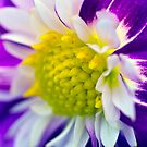 Dahlia flower by friendlydragon