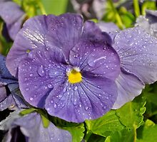 pansy after the rain by Nancy Rohrig