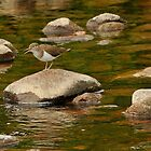 Common sandpiper out on the rocks by Grandalf