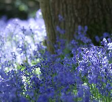 Bluebell Cluster by Ursula Rodgers