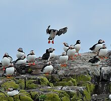 "puffin ""Ok you lot, volcanic ash or not, I'm still going"" by Grandalf"