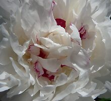 White Peony by Lucinda Walter