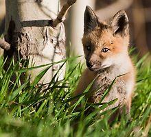 Fox Kit by Jay Ryser