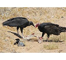 New World Vultures ~ Turkey & Black Vulture Photographic Print