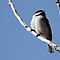 Black-Capped Chickadee by Alyce Taylor