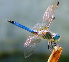 Oh Dragonfly by Sandra Moore