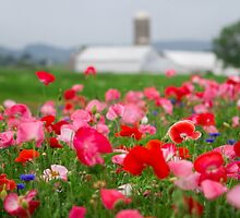 Red and White Poppy by Mark Van Scyoc