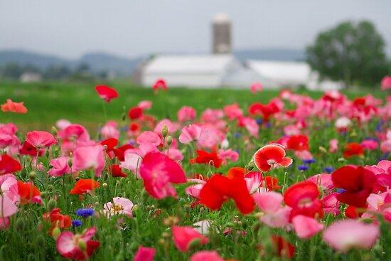 Red and White Poppy by Mark Van Scyoc