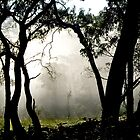 Misty Morning Gumtrees by Virginia Daniels