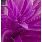 Purple Leaf by goldrose