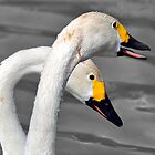 Bewick swan pair by Darren Bailey LRPS