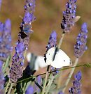 Sharing Lavender by Julie Sleeman
