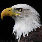 Bald Eagle by Alannah Hawker