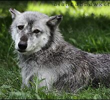 Canadian timber wolf 01 by Alannah Hawker