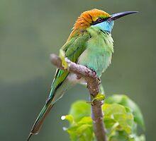 Green Bee-eater by Neil Bygrave (NATURELENS)