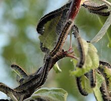 forest tent caterpillars by Dawn Barger