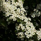 hawthorn blossom by David Ford Honeybeez photo