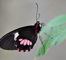 Resting butterfly  by Darren Bailey LRPS