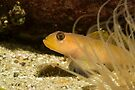 Blenny behind the 'screen'. by lgraham