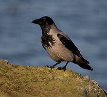 hooded crow by Jon Lees