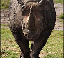 Black Rhino 02 by Alannah Hawker