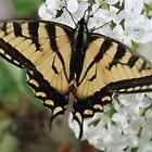 Flutter by butterfly by Chickapeek