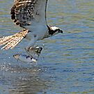 Two for me!! Osprey and fish by Alana Ranney Parker