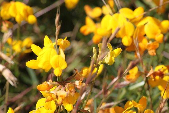 Yellow Springtime Wildflowers by jdbussone