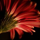 Gerbera view by CezB