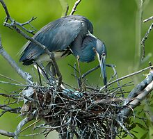 Tricolor Heron on her Nest by Bonnie T.  Barry