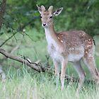 Fallow deer - 6695  by DutchLumix
