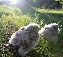 Kestrel Chicks (Falco tinnunculus) by Lindamell