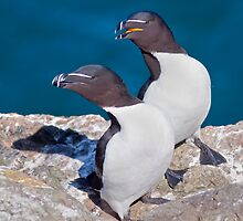 Oooh Look Love... the Tourists have arrived... (Razorbills) by Krys Bailey