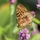 Pretty Fritillary by rasnidreamer