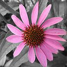Pink Dog Daisy Wildflower by Sandra Cockayne