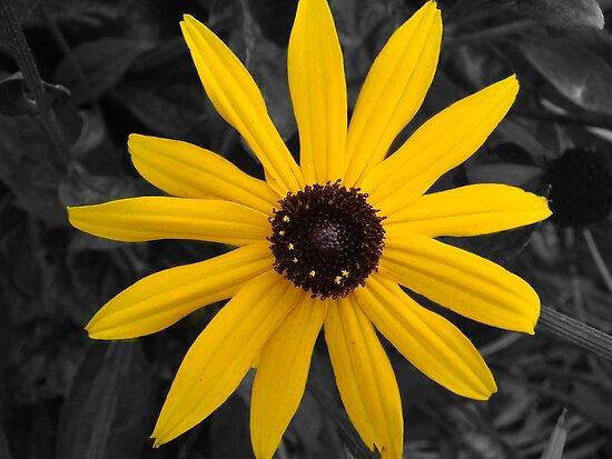 Yellow Daisy  by Sandra Cockayne