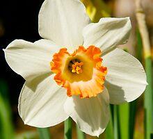 Single Daffodil by MoonLiteStudio