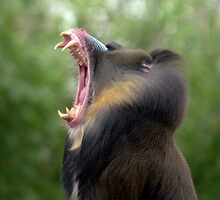 Mandrill at Melbourne Zoo III by Tom Newman